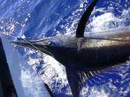 Schwertfisch in Kroatien