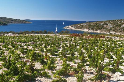 Weingärten von Suha Punta in Primosten