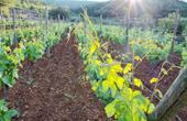 Weingarten - Rote Erde