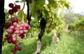 Benvenuti Vina - Weinreben