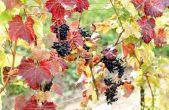 Weingut - Benvenuti Vina - Weinrebe rot