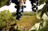 Weingut - Benvenuti Vina - rote Weintrauben