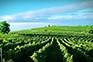 Weingärten - Vina Cattunar