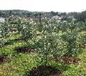 Olivenernte auf der Insel Krk