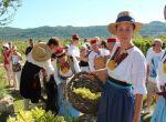 Agrotourismus Konavle - Weinernte