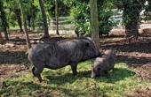 Bauernhof Sterle - Hausschweine