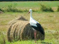 Storch im Dorf Cigoc