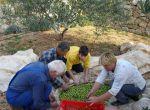 Natura Rab - Olivenernte