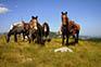 Pferde, Linden Tree