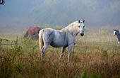 Linden Tree, Pferde