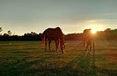 Pferde auf Koppel, Insel Krk
