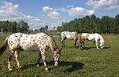 Pferde auf Ranch Kurilovec