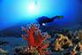 Taucher Koralle, Istrien
