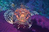 Unterwasserwelt Kroatien, Drachenkopf