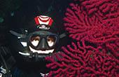 Koralle, Taucher