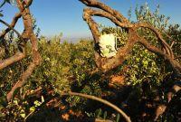 Wandern Oliven Weg Brac