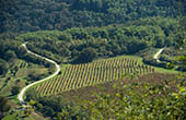 Weingärten bei Motovun