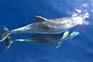 Delfine, Kroatien