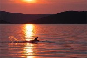 Adria Delfine in Kroatien (Copyright Ulrike Kirsch / GRD)