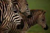 Nationalpark Brijuni - Safaripark - Zebra