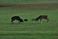 Nationalpark Brijuni - Tierwelt Hirsche