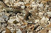Schlange im Nationalpark Paklenica