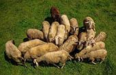 Schafe im Nationalpark Risnjak