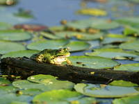Amphibien, Kopacki rit, Kroatien