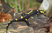 Salamander, Naturpark Papuk
