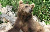 Braunbär, Naturpark Velebit