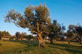 Novigrad Olivenbäume
