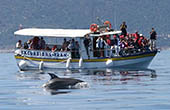 Delfine im Inselarchipel von Losinj