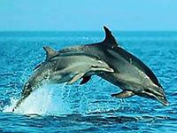Delfine vor der Insel Losinj