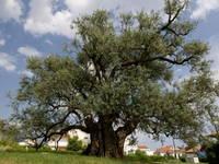 Kastela - Olivenbaum