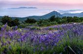 Lavendelfeld Insel Hvar
