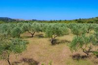 Supetar, Insel Brac - Olivenhaine, Oliven