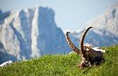 Steinbock - Alpen
