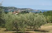 Olivenbäume & Kirche Sv. Marija