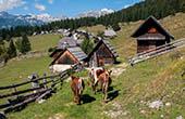 Nationalpark Triglav, Kühe auf Pokljuka