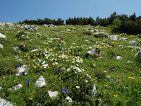 Tal d. Triglav Seen - Flora