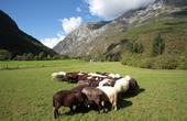 Bovec - Schafherde im Tal