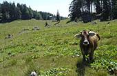 Menina Planina, Kuh auf Weide