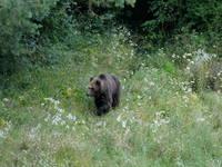 Bären Beobachtung - Postojna