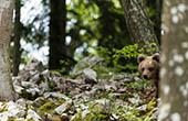 Braunbär, Wald